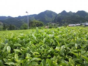五ヶ瀬茶畑